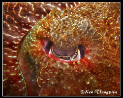 Abstract photo of Cuttlefish eye at Nelson Bay, Australia. by Ken Thongpila