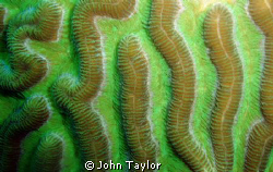 Macro shot of gorgeous Brain Coral. St Lucia.