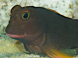 Red Lipped Blenny shot with D300 and 105mm lens by Lee Arbo