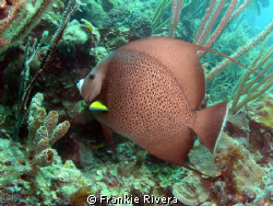 Gray Angel Fish @ Culebra Island by Frankie Rivera