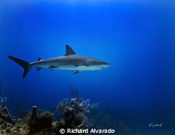 "Reef shark taken at ""Danger Reef"", Bahamas with Canon 40D... by Richard Alvarado"