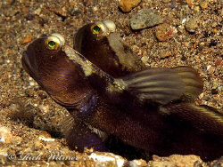 A pair of gobies in Anilao.  G9/DS160.  by Richard Witmer
