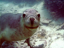 This seal was so much fun and loved the camera Abrolhos ... by Chloe Taylor