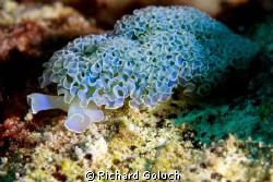 Lettuce Sea Slug-Bonaire-Canon 5D MK II 100 mm macro no c... by Richard Goluch