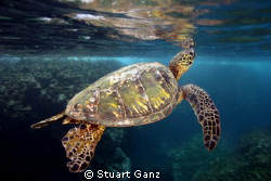 Green sea turtle seconds before taking a breath. by Stuart Ganz
