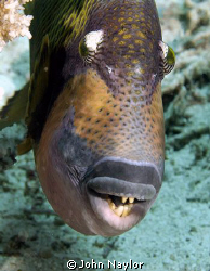 titan trigger fish.very aggresive tried to eat my camera. by John Naylor