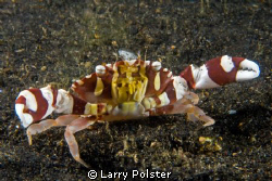 Gaudy Clown Crab in the black volcanic sands of Lembeh. D... by Larry Polster