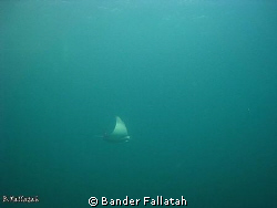 Ray in Arabian Gulf check out the divers 