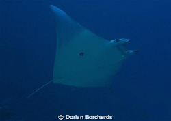 A Mobula Ray near Albatros Passage by Dorian Borcherds