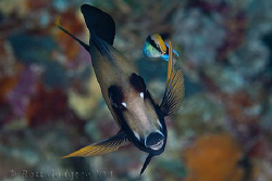 Surgeonfish and Cleaner Wrasse.  Wakatobi, Southeast Sula... by Ross Gudgeon