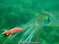 Greedy Squid,