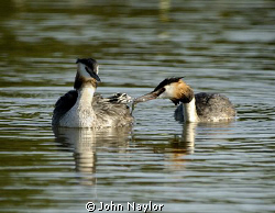great crested grebes feeding young.the chick sits on moth... by John Naylor