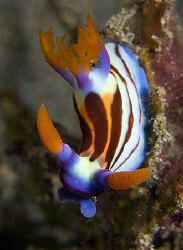 Nembrotha aurea. East of Dili, East Timor. by Doug Anderson