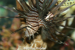 lion fish...one of the many we have around this area...ta... by Ramon Magana