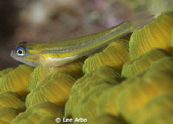 Goby shot with D300 and 105mm macro lens by Lee Arbo