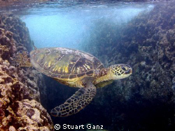 Green Sea Turtle by Stuart Ganz