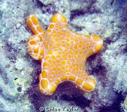 This was a small starfish laying amongst dead bleached co... by Chloe Taylor