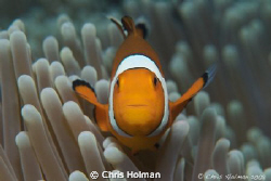 Nemo... Just a crazy little clown fish that enjoyed show... by Chris Holman