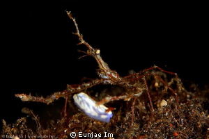 long snout elbow crab by Enje Im