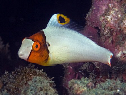 Juvenile Parrotfish. East of Dili, East Timor. by Doug Anderson