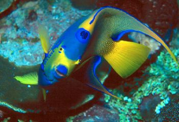 Queen Angelfish taken in Grand Cayman w/N90s, 105mm lens,... by Beverly J. Speed