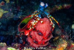 Peacock Mantis Shrimp with eggs. D300-60mm by Larry Polster