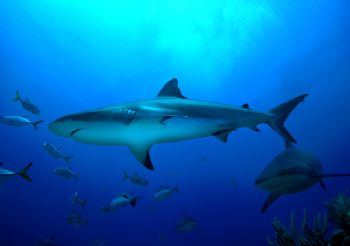 Grey Shark / Roatan Honduras / September 09, 2004 by Jason Watts