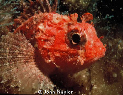 red scorpion fish.night dive at Gozo by John Naylor