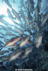 Snappers on the move.. Shark Reef, Sharm el Sheikh, Red Sea by Erich Reboucas
