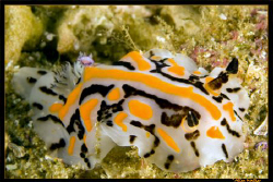 Never been good with names but a rather colourful nudi, u... by Allen Walker