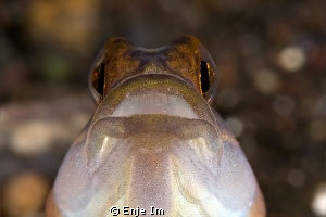 shrimp goby closeup / Canon 450D + 100mm + 2x TC / no cro... by Enje Im