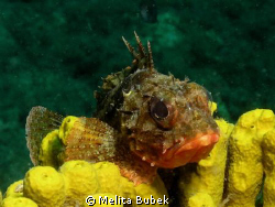 little scorpion fish / night dive at Kraljevica / Canon G... by Melita Bubek