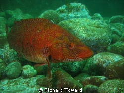 Wrasse taken with Canon A570is and Epoque 150 ds strobe, ... by Richard Toward