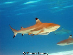 Black tip shark in the Tuamoutus, French Polynesia by Thierry Lannoy