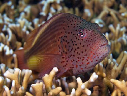 Forster's Hawkfish, Tulamben by Doug Anderson