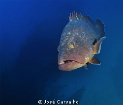 Giant grouper at the Madeirense Wreck, in the Portuguese ... by José Carvalho