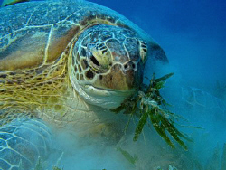 Green Sea Turtle having a messy lunch by James Dawson