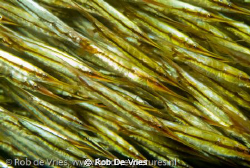 A river of thousands of razor fish, with only my 60mm mac... by Rob De Vries