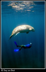 Dugong and snorkler. by Dray Van Beeck