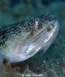 Lizzard fish close-up, at Porto Santo Island. by José Carvalho