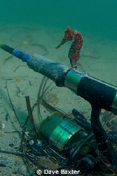 seahorse sitting on a fishing rod - ammo jetty Perth West... by Dave Baxter