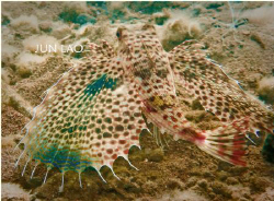 Flying Gurnard- the fish with paws and wings, it just cra... by Jun Lao