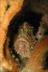 """dirty hairy""... frogfish caught by surprise in koh doc mai by Adriano Trapani"