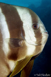 Batfish by Debi Henshaw
