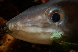 Conger eel with rest of a fishingline by Andy Kutsch