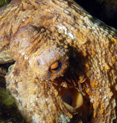 Octopus in croatia during a dive coming out from his safe... by Andy Kutsch