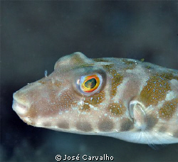 Pufferfish close-up at Porto Santo Island, Portugal. by José Carvalho
