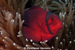 Red Tomato Nikon D200, 60 micro , twin strobo Manado 2008 by Marchione Giacomo