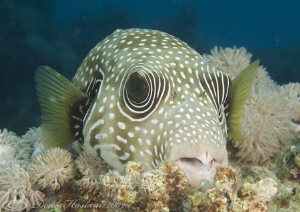 Whitespotted puffer. Marsa Alam. D3, 105mm. by Derek Haslam