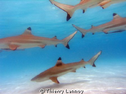 Black tip sharks galore !! by Thierry Lannoy